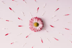 Βουίζοντας λουλούδι μαργαριτών Στοκ Φωτογραφία