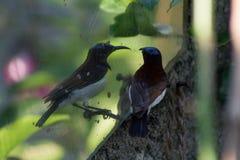 Βουίζοντας πουλί που εξετάζει το/βουίζοντας πουλί που φαίνεται συγκεχυμένο στοκ εικόνες