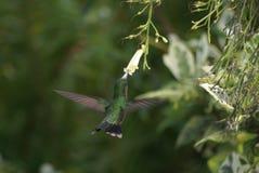 Βουίζοντας πουλί Χ λουλούδι στοκ φωτογραφία με δικαίωμα ελεύθερης χρήσης