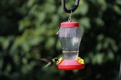 Βουίζοντας πουλί στοκ εικόνες με δικαίωμα ελεύθερης χρήσης