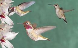 Βουίζοντας πουλιά της Anna ` s στοκ εικόνες