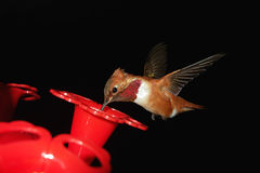 Βουίζοντας πουλί κατά την πτήση στοκ εικόνες με δικαίωμα ελεύθερης χρήσης