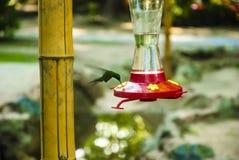 Βουίζοντας πουλί που τρώει τη μέση πτήση Στοκ Φωτογραφία