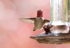 Βουίζοντας πουλί της Anna ` s στοκ φωτογραφία