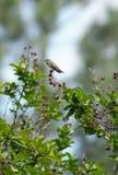 Βουίζοντας πουλί Στοκ Φωτογραφία