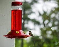 Βουίζοντας πουλί Στοκ φωτογραφίες με δικαίωμα ελεύθερης χρήσης