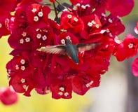 Βουίζοντας ρόδινα λουλούδια πουλιών Στοκ φωτογραφία με δικαίωμα ελεύθερης χρήσης