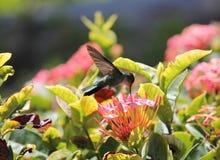 βουίζοντας σμάραγδος πουλιών καραϊβικό να ταΐσει με το νέκταρ από το λουλούδι Στοκ εικόνα με δικαίωμα ελεύθερης χρήσης