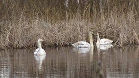 Βουβά πουλιά του Κύκνου που κολυμπούν στην επιφάνεια νερού των υγρότοπων απόθεμα βίντεο