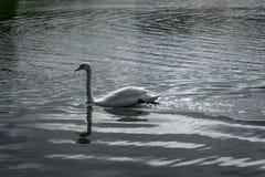 βουβή κολύμβηση κύκνων στοκ φωτογραφίες με δικαίωμα ελεύθερης χρήσης
