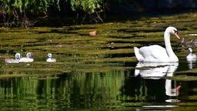 Βουβή οικογένεια κύκνων που κολυμπά στη λίμνη απόθεμα βίντεο