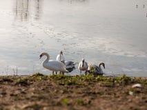 Βουβόκυκνοι με την επιφάνεια λιμνών κρύου νερού οικογενειακών παραλιών μικρών κύκνων έξω στοκ φωτογραφία