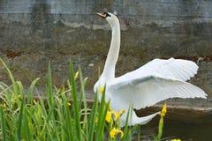 Βουβόκυκνος που τεντώνει τα φτερά της Στοκ Φωτογραφίες