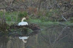 βουβόκυκνος προγόνων κατσικιών Μεγάλο άσπρο πουλί νερού floating στοκ φωτογραφία