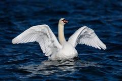 Βουβόκυκνος τα ευρέα φτερά που διαδίδονται με Στοκ Εικόνες