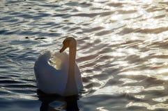 βουβόκυκνος olor αστερισ&mu Στοκ εικόνα με δικαίωμα ελεύθερης χρήσης