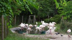 ΒΟΥΔΑΠΕΣΤΗ, ΟΥΓΓΑΡΙΑ - 5 ΙΟΥΛΊΟΥ 2018: Μια αφθονία των φλαμίγκο στο ζωολογικό κήπο της Βουδαπέστης ενήλικοι, όμορφα φλαμίγκο, με  φιλμ μικρού μήκους