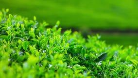 Βουνά κήπων τσαγιού της Σρι Λάνκα στο eliya nuwara απόθεμα βίντεο