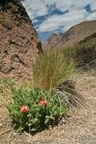 βουνά λουλουδιών caiophora Στοκ φωτογραφία με δικαίωμα ελεύθερης χρήσης
