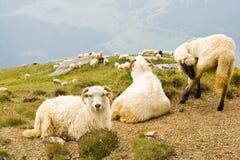 βουνά bucegi sheeps Στοκ φωτογραφία με δικαίωμα ελεύθερης χρήσης