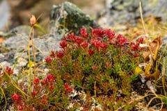 Βουνά rosea Rhodiola λουλουδιών roseroot Στοκ Εικόνες
