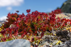 Βουνά rosea Rhodiola λουλουδιών roseroot Στοκ Φωτογραφία