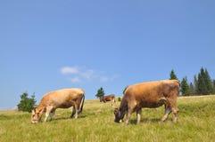 βουνοπλαγιά αγελάδων Στοκ Εικόνες