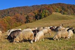 βουνοπλαγιά sheeps Στοκ εικόνα με δικαίωμα ελεύθερης χρήσης