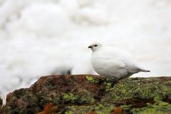 Βουνοχιονόκοτα βράχου Στοκ φωτογραφίες με δικαίωμα ελεύθερης χρήσης