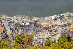 Βουνοχιονόκοτα βράχου Στοκ Εικόνες