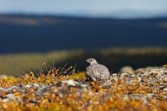 Βουνοχιονόκοτα βράχου Στοκ Εικόνα