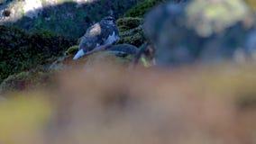 Βουνοχιονόκοτα βράχου, muta Lagopus, που κάθεται σε μια βουνοπλαγιά στα cairngorms NP κατά τη διάρκεια του φθινοπώρου, Οκτώβριος απόθεμα βίντεο