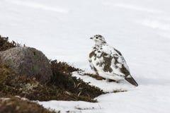 Βουνοχιονόκοτα, mutus Lagopus Στοκ φωτογραφίες με δικαίωμα ελεύθερης χρήσης