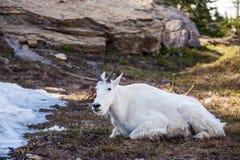 Βουνό αιγών στη φύση Στοκ Εικόνα