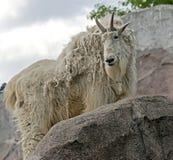 βουνό αιγών δύσκολο Στοκ Φωτογραφία