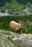 βουνό αιγών Στοκ φωτογραφίες με δικαίωμα ελεύθερης χρήσης