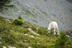 βουνό αιγών Στοκ φωτογραφία με δικαίωμα ελεύθερης χρήσης