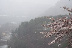 Βουνό Ιαπωνία Shirakawago δέντρων ανθών κερασιών ανοίξεων χιονιού Στοκ εικόνα με δικαίωμα ελεύθερης χρήσης
