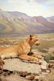 βουνό λιονταριών Στοκ Φωτογραφίες