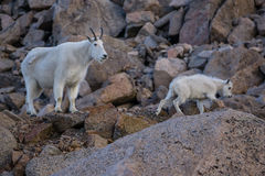 βουνό μητέρων κατσικιών αι&gam στοκ φωτογραφίες με δικαίωμα ελεύθερης χρήσης