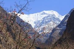 Βουνό του Ιμαλαίαυ Annapurna με τα ρόδινα λουλούδια, Annapurna basecamp, Νεπάλ Στοκ φωτογραφία με δικαίωμα ελεύθερης χρήσης
