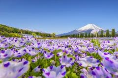 Βουνό του Φούτζι και κήπος λουλουδιών μπλε ματιών μωρών στον κήπο λουλουδιών Hananomiyako κοντά στη λίμνη Yamanaka Στοκ Φωτογραφία