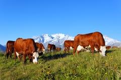 βουνό 2 αγελάδων Στοκ εικόνες με δικαίωμα ελεύθερης χρήσης