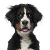 βουνό 5 bernese μηνών σκυλιών παλα&i Στοκ Εικόνες