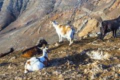 βουνό Lanzarote αιγών που στέκεται κορυφαίο Στοκ Φωτογραφίες