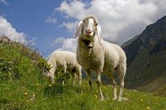 βουνό sheeps Στοκ φωτογραφίες με δικαίωμα ελεύθερης χρήσης