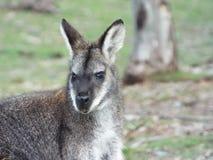 Βουνό wallaby Στοκ Εικόνες