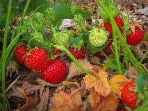 Βουρτσίστε την κόκκινη ώριμη φράουλα Στοκ Εικόνες