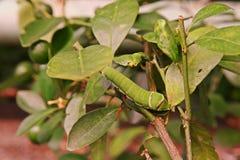 Βουτυρώδης λάβα μυγών, παράσιτο των εγκαταστάσεων εσπεριδοειδών στοκ εικόνες