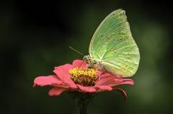 Βουτύρου μύγα Στοκ φωτογραφία με δικαίωμα ελεύθερης χρήσης